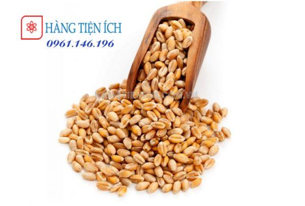 Hạt giống cỏ lúa mì lúa mạch nhập khẩu Wheatgrass