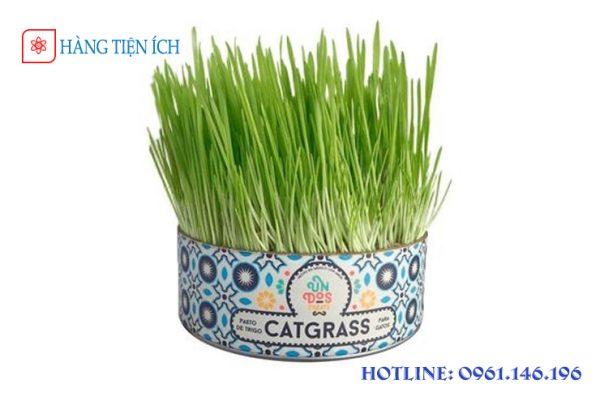 Hạt giống cỏ mèo catgrass
