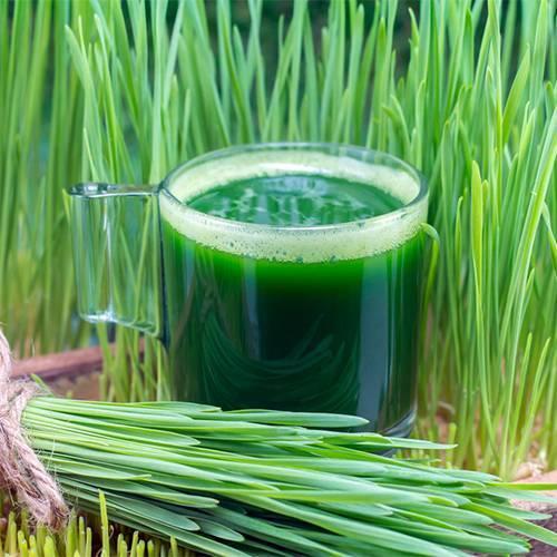 cách làm nước ép cỏ lúa mì