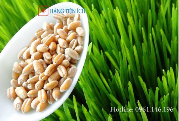 Hạt giống lúa mạch bao nảy mầm tại Hà Nội, Sài Gòn