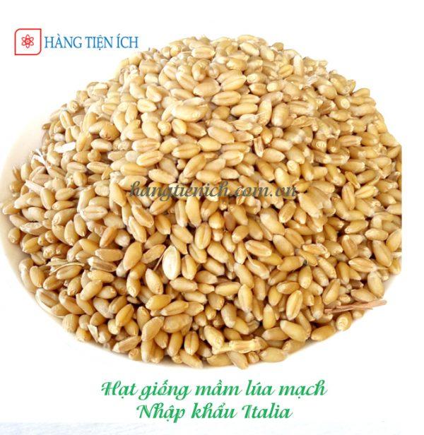Hạt giống mầm lúa mạch nhập khẩu chất lương cao