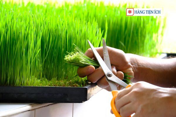Thu hoạch mầm lúa mạch từ hạt giống mầm lúa mạch